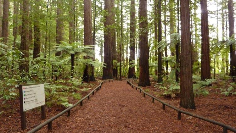 El bosque de sequoyas de Redwood es un lugar para visitar en Rotorua