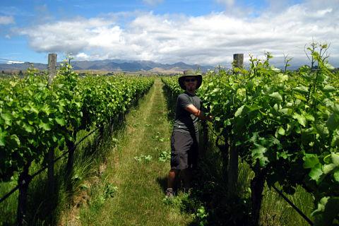Haciendo WWOOFing en un viñedo de Nueva Zelanda