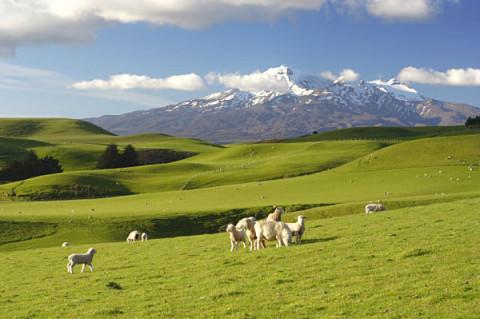Ovejas pastando en los campos aledaños a Christchurch, Nueva Zelanda