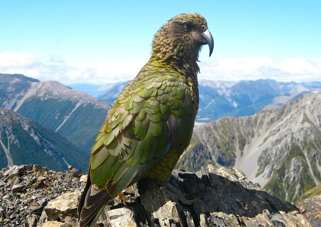 Ave de Nueva Zelanda: Kea, el loro de los Alpes del Sur